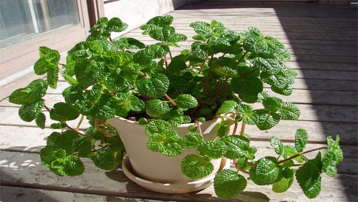 کاشت سبزی نعناع