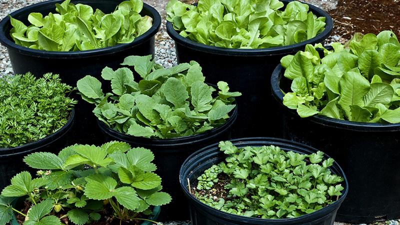آموزش ساده کاشت سبزی خوردن در گلدان خانه
