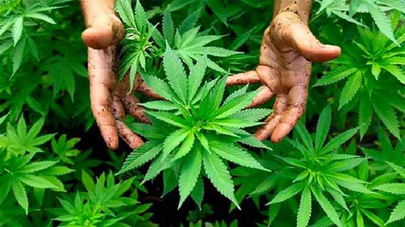 مواد مخدر ماری جوانا یا گل چیست؟ عوارض مصرف گل یا گل کشیدن